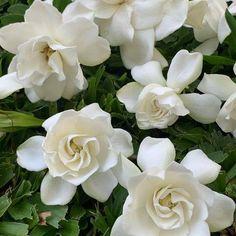 Cómo sembrar y plantar Jazmín fácilmente Gardenias, Durango Mexico, Some Nights, Citronella Candles, Moon Garden, Peach Trees, How To Fall Asleep, White Flowers, Things To Come