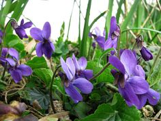 Viola Odorata (5 plug plants)- Edible plants for vitamin C; Common English Perennial Sweet Violet, Pollinator Bee British Native Wild Flower