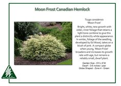 Image result for Tsuga canadensis ' Moon Frost '