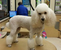Miniature Poodle in a Miami cut