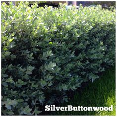 Silver Buttonwood appear green with a light sheen or even nearly white. These fast growing Florida Native plants tolerate heat, salt and drought. They can be shaped into a hedge, or small tree reaching nearly 20' high.