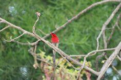 Crimson Sunbird #Dehradun #Birds #Shaheenbaug