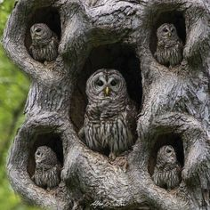 Owls found a great tree