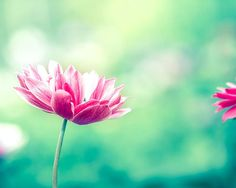 floral photography flower poppy photography by mylittlepixels
