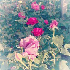Our rose garden :)