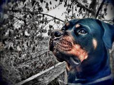 Giulia #rottweiler