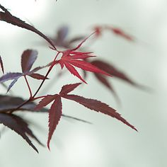Terrain Beni Otaki Japanese Maple