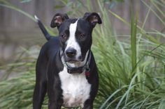 Meet+Quinn,+a+Petfinder+adoptable+Border+Collie+Dog+|+Houston,+TX+|+Meet+Quinn+–+Quinn+was+adopted+in+January+2013+but+unfortunately+her+adopter+had+a+life+changing...