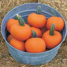 25 Pumpkin Seeds Silver Moon