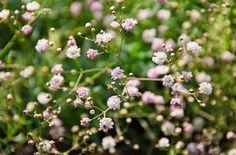 Rózsás Fátyolvirág (Gypsophila 'Rosenschleier')  Kompakt, bokros növekedésű fátyolvirág hibrid, melyet a buglyos és a havasi fátyolvirág keresztezésével hoztak létre. Vékony elágazó szárai és nagytömegben hozott apró virágai igazán légies habitussal ruházzák fel ezt az évelő dísznövényt, melyet gyakran használnak vágott virág csokrok lazítására. A halvány rózsaszín, telt virágok a nyár közepétől egészen kora őszig nyílnak.