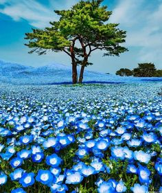 Hitachi Seaside Park, Million Flowers, Voyager Loin, One Word Art, Arte Floral, Amazing Flowers, Vacation Trips, Vacation Spots, Adventure Travel