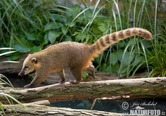 Brown-nosed Coati, South American Coati (Nasua nasua) - Coatis are members of the raccoon family (Procyonidae). Their geographical range extends from the southwestern U.S. (southern Arizona, New Mexico, and Texas) through northern Argentina. (Photo © Jiri Bohdal)