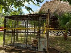Rescata Profepa ejemplar de puma que deambulaba en zona urbana de Chihuahua | El Puntero
