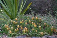 Banksia 'Birthday Candles'