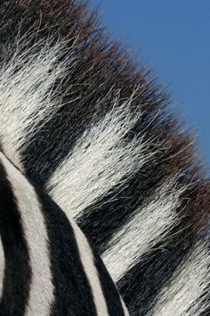 Zebra pattern and hair texture identified as trends for 2014-2015.