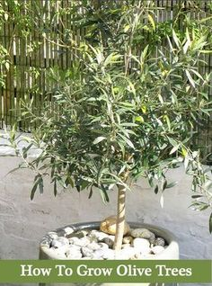 How To Grow Olive Trees - In Your Backyard Or Containers...