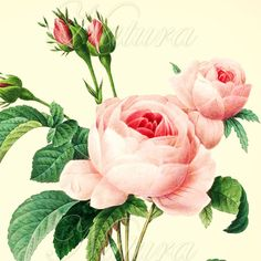 Botanical Art Print 180, pink rose print produced from a vintage illustration upcycled from a bookplate.
