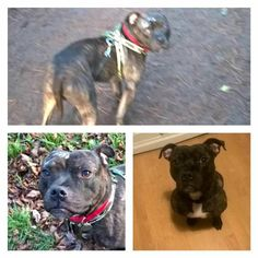 Spud has been missing from Keighley, West Yorkshire since 21/1/17, he's a 2 year old brindle staffy, chipped and neutered, wearing a black collar and green harness. He disappeared into the woods while we were out for a walk and there hasn't been any sightings of him since. Please share and help my boy findRead More