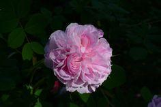 Blush Damask – ruusu | Vesan viherpiperryskuvat – puutarha kukkii