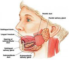 Anatomy of Parotid Gland | Pinterest | Salivary gland, Medicine and ...
