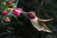 Male Anna's hummingbird visit flowers by William Lee on 500px