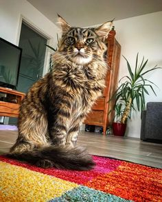 Its interesting from this Perspektive I look bigger than the palm tree in the background or maybe I AM bigger?!  Be sure to hit follow for awesome pics and video! --------------------------------- Follow us: -@mainecoonloves --------------------------------- Douple tap and tag your #MaineCoon loving friends below! From: @lancelot.tomcat Thank you so much !