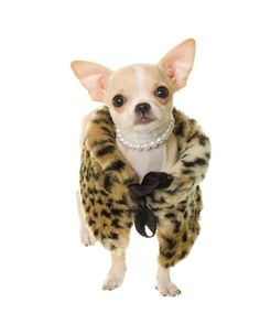 "Chiwawa style, ""princess Kelly,"" Jayne says.  My dog needs this she is always wearing sweaters"