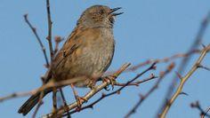 The Dunnock.  But do you recognise their song?  Follow the link ... Little Birds, Make Me Smile, Britain, Ireland, Wildlife, Link, Garden, Beautiful, Garten
