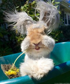 Fluffy rabbit, Fluffy bunny, English angora rabbit, Angora bunny, Cute bunny, Cute animals - Wally the LongHaired Bunny is Basically a Stuffed Animal Come to Life World's largest collection of cat me - #Fluffyrabbit