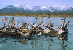 Caribou herd swimming during migration, Kobuk River, Alaska