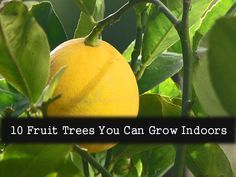 One of the most popular new trends in gardening is growing indoor fruit and citrus trees. These small trees grow in containers and are specifically bred to grow indoors. Let s take a look at ten varieties of indoor fruit trees and a little information about each...