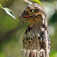 nyctibius griseus - nocolot szary