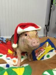 Afbeeldingsresultaat voor christmas pigs