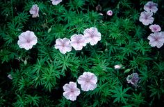 Striped bloody crane's bill G. striatum is a prostrate herbaceous perennial to in height, making a compact mat of narrow-lobed dark green leaves. Pale lilac-pink flowers are in width, with deeper pink veining Plants That Love Shade, Shade Plants, Balcony Plants, Garden Plants, Balcony Garden, Shade Flowers, Pink Flowers, Bee Friendly Plants, Flowers