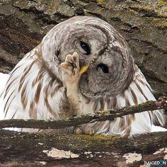 Barred Owl found at the Minnesota Landscape Arboretum Minnesota Landscaping, Barred Owl, Garden Pictures, Wildlife Nature, Botanical Gardens, Woodland, Nature Photography, Bird, Landscape