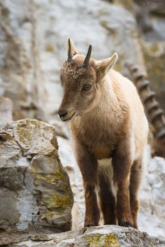 Young Capricorn by Cloudtail. °