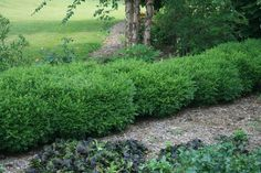 """With the right mix of plantings, borders can be vibrant at different times of the year. For texture and structure year-round, try evergreens such as boxwood, hollies, and junipers. """"And grasses can fit into tight spaces between other plantings and come in a range of hues including bright gold, burgundy, and pink,"""" says Smith. This 'Franklin's Gem' boxwood is one of the hardiest varieties showing off a rich olive color in the winter."""