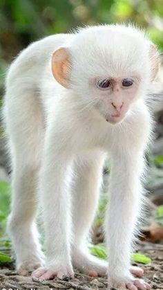 Albinism is an genetic disorder characterized by a lack of melanin in the body, the body's color producing pigment. It is extremely rare. Here's a list of 125 rare albino animals. Primates, Mammals, Animals And Pets, Funny Animals, Monkeys Animals, Funny Monkeys, Strange Animals, Wild Animals, Rare Albino Animals