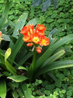 plants and flowers for backyards in southern calif | this is a popular landscape plant in southern california for