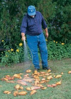 How to grow and harvest sweet potatoes--good information about starting your own slips to exactly how to harvest.
