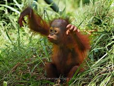 Marcel is the name of the child male orangutan from Borneo, he was only 2 years old and live in captivity since he was born.