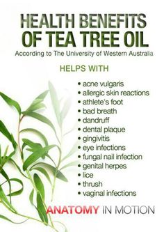 There are a myriad of tea tree oil benefits in today's society. Everything from acne treatments to clearing the air. Tea tree oil is a necessity in one's arsenal of natural medicinal products. Tea Tree Essential Oil, Essential Oil Uses, Young Living Essential Oils, Tea Benefits, Health Benefits, Health Tips, Health Care, Tea Tree Oil Uses, Acupuncture Benefits