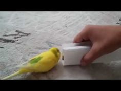 Broken hearted budgie refuses to leave dead friends side - Vtech Academy.