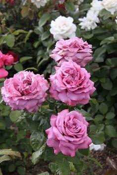 'Claude Brasseur' Hybrid Tea Rose. Meilland 2005