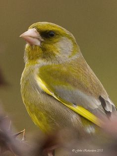 – known for their twittering and wheezing song. They are quite sociable finches with green and yellow plumage that prefers to consume black sunflower seeds. It is a regular garden visitor and is a common sight in woods, hedges, village gardens and orchards.