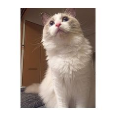 パールちゃんのもふもふ見てにゃーん♡ #cat #ragdoll #ilovecat #happy #myfamly #lol #ragdollcat #ragdollcats #japan #fukuoka #catstagram #kitty #cute #love #instacat #ilovecat #cute #animal #ragdollworld#neko #ラグドール #ねこ #猫 #子猫 #猫部 #ペコねこ部 #にゃんすたぐらむ