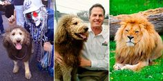 Cops call zoo after pup with fancy haircut convinces folks he's a lion  4 days ago Do not even try to have a costume contest with this clever pooch. Charles the Monarch, a cheery labradoodle in Norfolk, Va., is such a master of disguise that this morning he accidentally tricked neighbors into thinking he was a lion. The pup, whose owners keep him shaved with a lion-like mane in honor of Old Dominion University's mascot, was out taking a stroll when someone called 911 to report a lion on the…