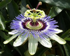 NC native, Passion Flower
