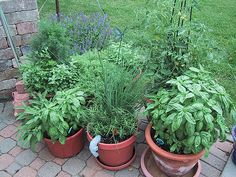Dining Room- Indoor Herb Garden- Large pots and plants