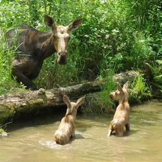 Mother moose and her calves.